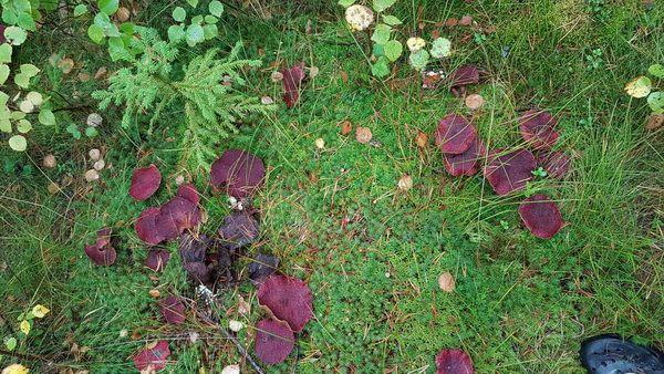 В Швеции нашли редкий сибирский гриб